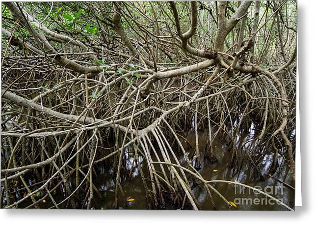 Mangrove Forests Greeting Cards - Mangrove Roots Greeting Card by Tracy Knauer