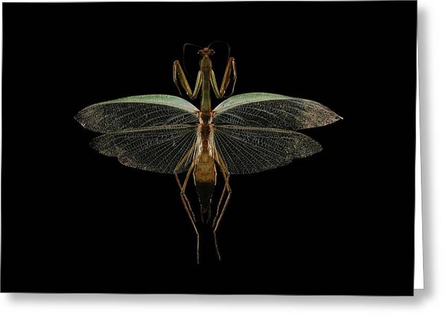 Mantodea Greeting Cards - Mantis Greeting Card by Science Photo Library