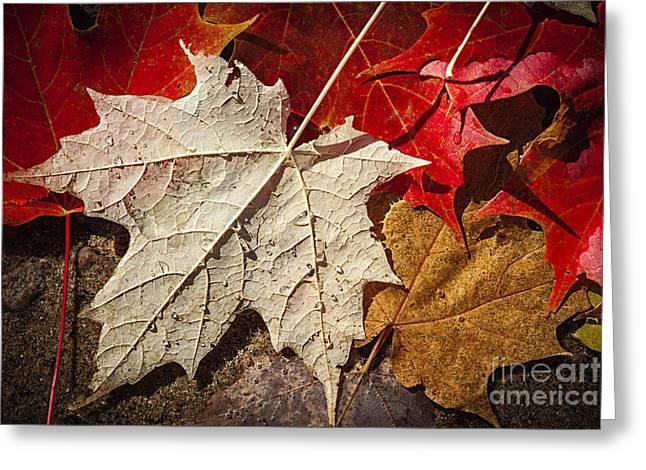 Pebbles Greeting Cards - Maple leaves in water Greeting Card by Elena Elisseeva