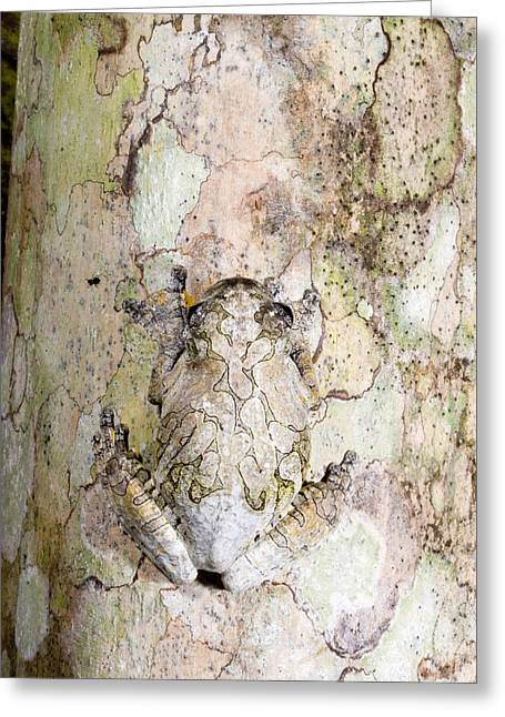 Peruvian Bark Greeting Cards - Marbled Tree Frog Greeting Card by Gregory G. Dimijian, M.D.