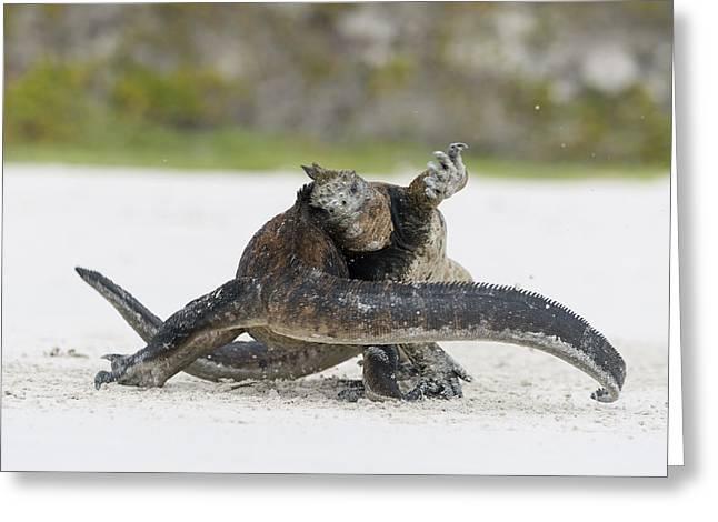 Marine Iguana Males Fighting Turtle Bay Greeting Card by Tui De Roy