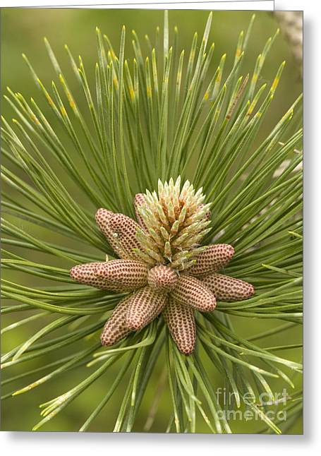 Pine Cones Greeting Cards - Maritime Pine Flowers Pinus Pinaster Greeting Card by Bob Gibbons