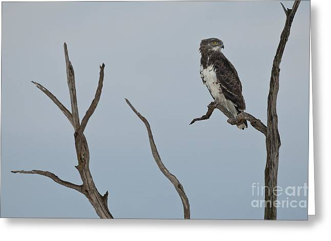 Martial Eagle Greeting Cards - Martial Eagle Greeting Card by John Shaw