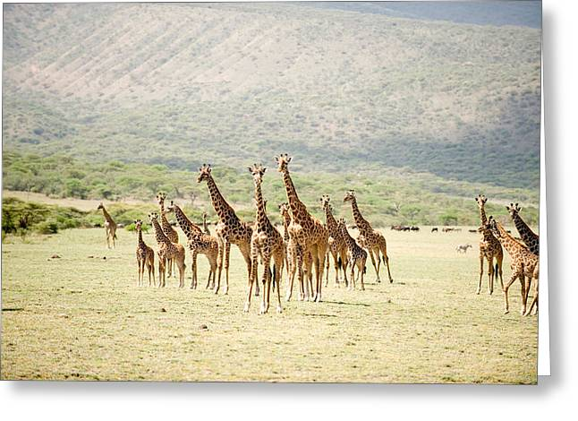 East Africa Greeting Cards - Masai Giraffes Giraffa Camelopardalis Greeting Card by Panoramic Images