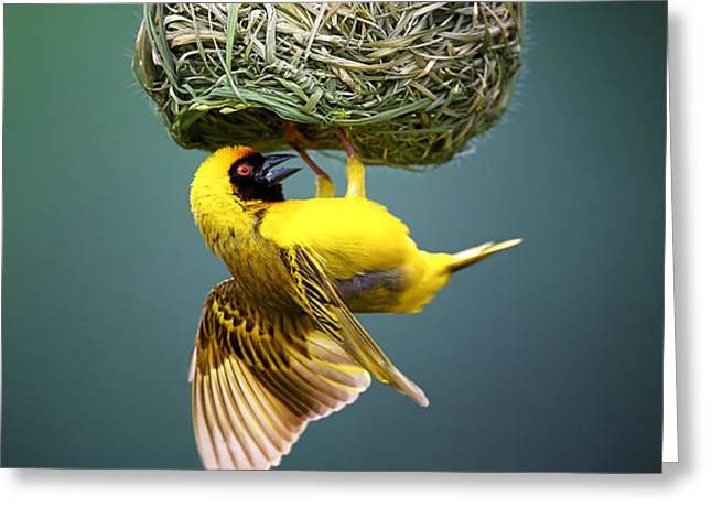 Masked weaver at nest Greeting Card by Johan Swanepoel