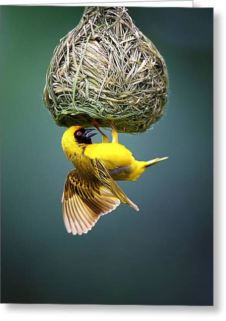Shine Greeting Cards - Masked weaver at nest Greeting Card by Johan Swanepoel