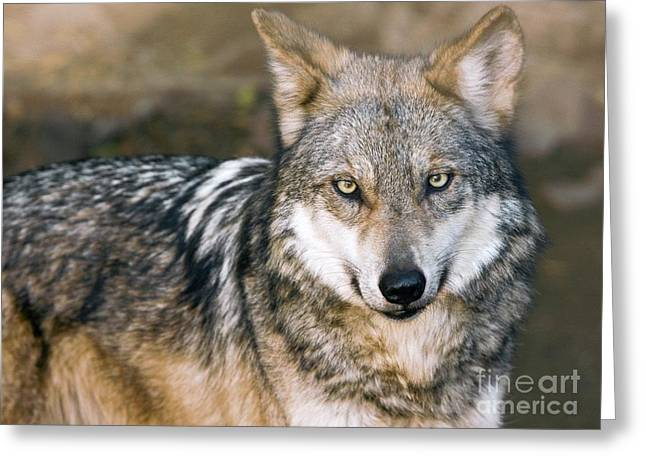 Wolf Face Greeting Cards - Mexican Gray Wolf Greeting Card by Bob Gibbons