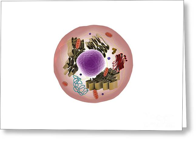 Single-celled Digital Greeting Cards - Microscopic View Of Animal Cell Greeting Card by Stocktrek Images