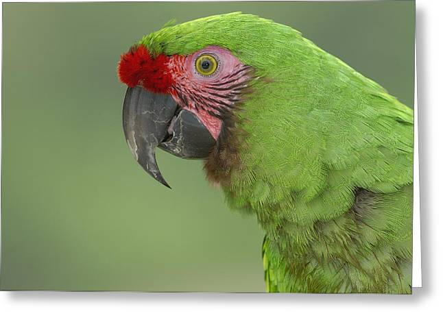 Macaw Profile Greeting Cards - Military Macaw Portrait Amazonian Greeting Card by Pete Oxford