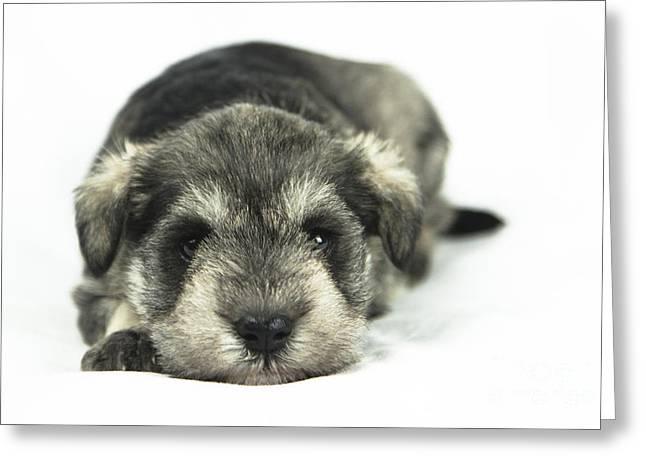 Mini Schnauzer Puppy Greeting Cards - Mini Schnauzer Puppy Greeting Card by Serene Maisey