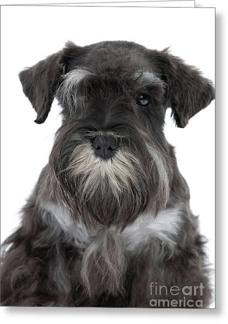 Mini Schnauzer Puppy Greeting Cards - Miniature Schnauzer Puppy Greeting Card by Jean-Michel Labat