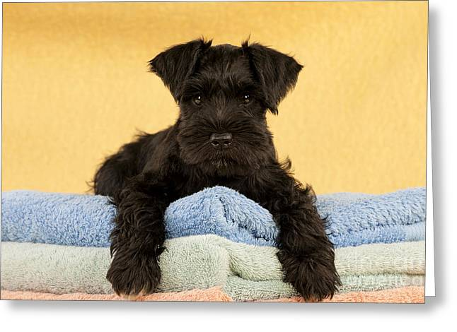 Breeds Greeting Cards - Miniature Schnauzer Puppy Greeting Card by John Daniels