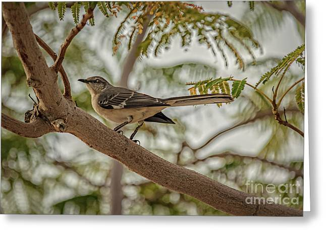 Haybale Greeting Cards - Mockingbird Greeting Card by Robert Bales