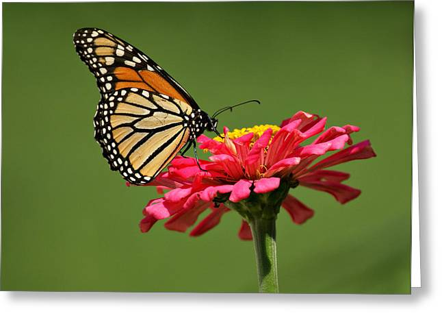 Indiana Art Greeting Cards - Monarch Butterfly Greeting Card by Sandy Keeton