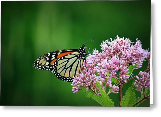 Neal Eslinger Greeting Cards - Monarch in Light  Greeting Card by Neal  Eslinger