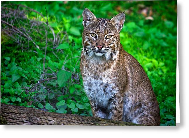 Bobcat Greeting Cards - Portrait of a Lady Greeting Card by Mark Andrew Thomas