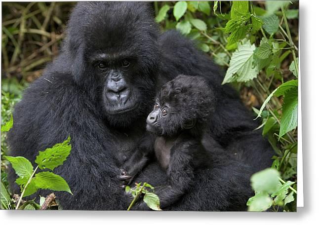 Mountain Gorilla And Infant Greeting Card by Suzi Eszterhas