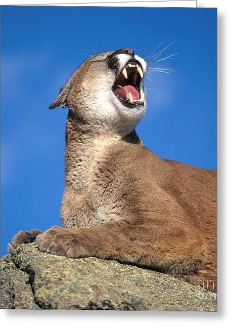Growling Photographs Greeting Cards - Mountain Lion Greeting Card by Hans Reinhard