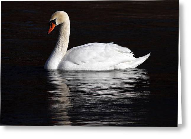 Mute Swan Greeting Card by Jim Nelson