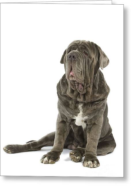 Droopy Greeting Cards - Neapolitan Mastiff Greeting Card by Jean-Michel Labat