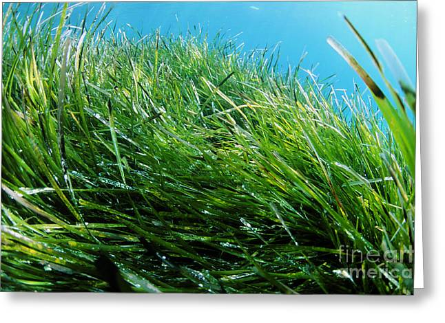 Neptune Islands Greeting Cards - Neptune Grass Greeting Card by Alexis Rosenfeld