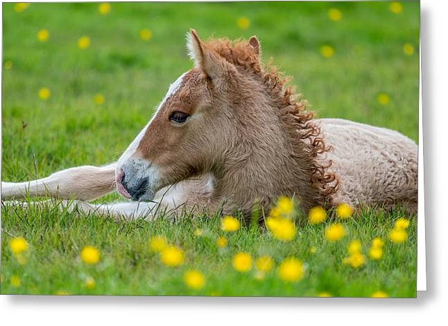 Horses In Nature Greeting Cards - New Born Foal, Iceland Purebred Greeting Card by Panoramic Images