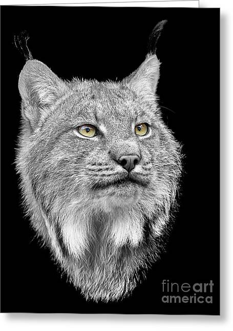 Bobcats Greeting Cards - North American Lynx Greeting Card by Paul Fell