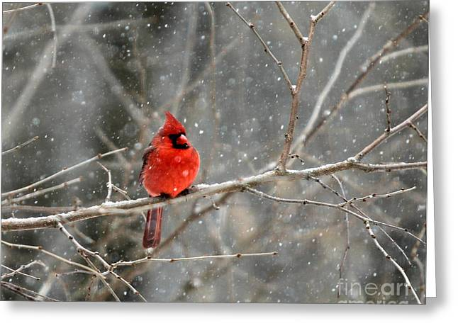 Cardinals In Snow Greeting Cards - Northern Cardinal Greeting Card by Clare VanderVeen