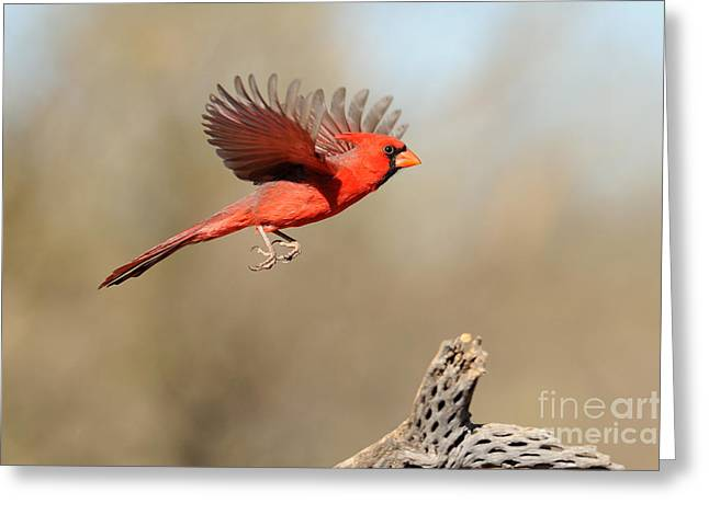 Arizona Wildlife Greeting Cards - Northern Cardinal Greeting Card by Scott Linstead