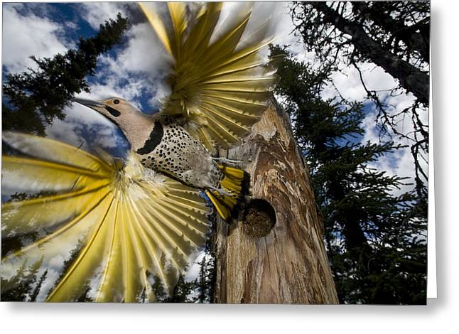 Northern Flicker Leaving Nest Cavity Greeting Card by Michael Quinton