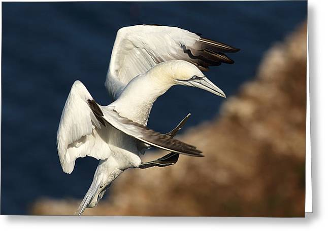 Sea Birds Greeting Cards - Northern Gannet Greeting Card by Grant Glendinning