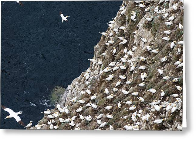 Northern Gannet (morus Bassanus Greeting Card by Martin Zwick