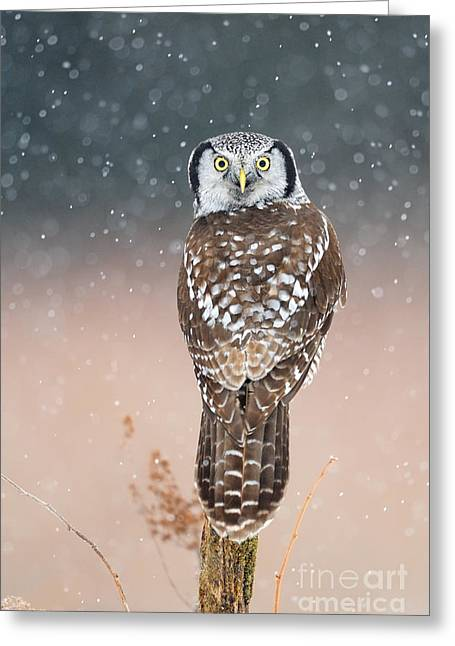 Bird Of Prey Greeting Card Greeting Cards - Northern Hawk Owl Greeting Card by Scott Linstead