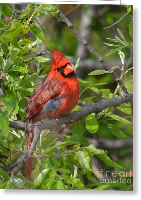 Print Greeting Cards - Northern Male Cardinal  Greeting Card by Ruth  Housley