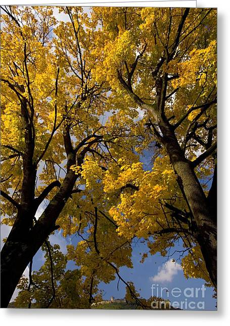 Norway Maple Greeting Cards - Norway Maples Acer Platanoides Greeting Card by Bob Gibbons