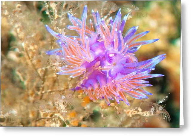 Undersea Photography Greeting Cards - Nudibranch Greeting Card by Roy Pedersen