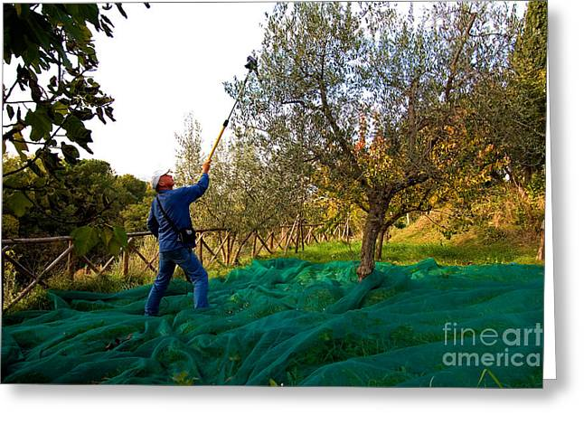 (olea Europaea) Greeting Cards - Olive Harvest, Italy Greeting Card by Tim Holt