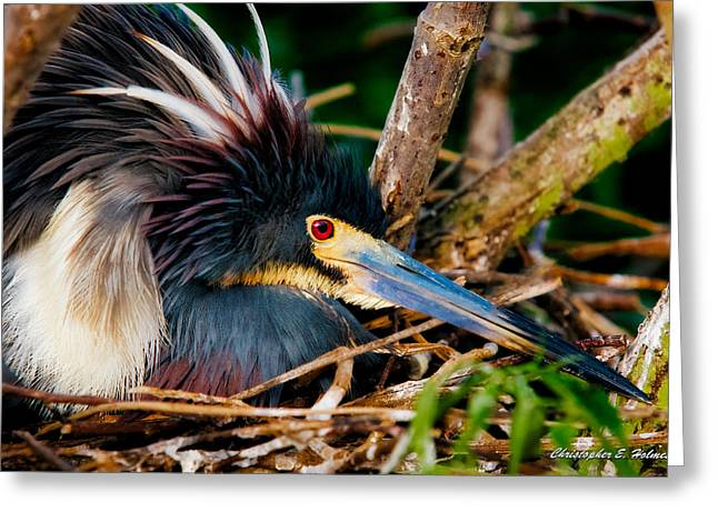 Tri-colored Heron Greeting Cards - On The Nest Greeting Card by Christopher Holmes