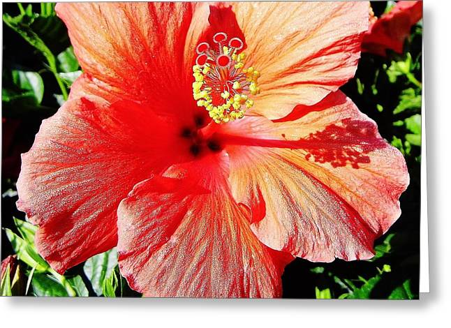 Moisture On Plants Photographs Greeting Cards - Hibiscus - Dew Covered - Beauty Greeting Card by D Hackett