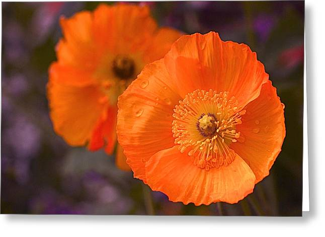 Botanical Greeting Cards - Orange Poppies Greeting Card by Rona Black