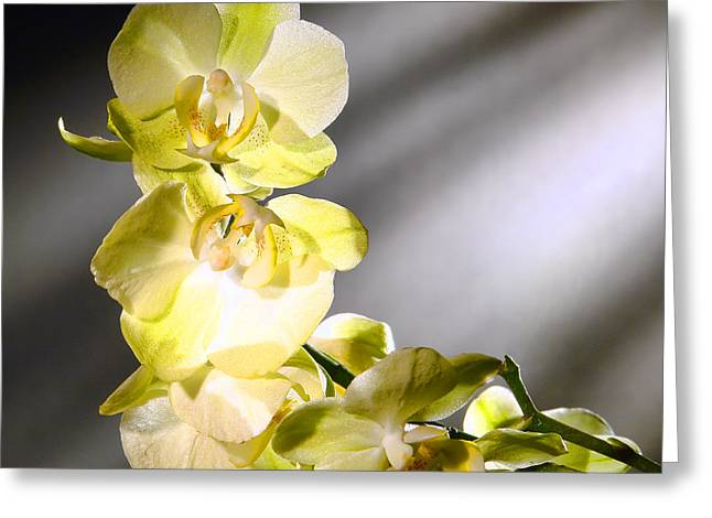 Orchid Greeting Cards - Orchid Flowers Greeting Card by Olivier Le Queinec
