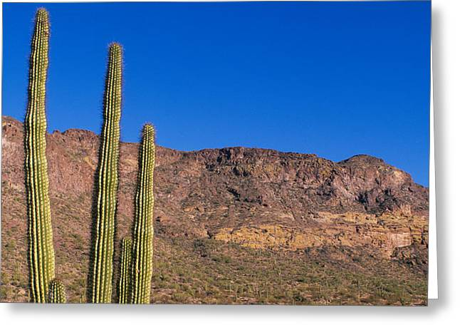 Scenic Drive Greeting Cards - Organ Pipe Cactus Az Greeting Card by Panoramic Images