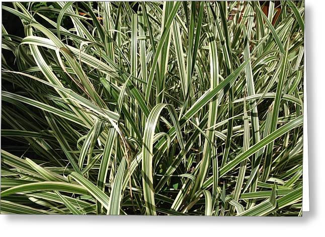 Ornamental Grass Greeting Card by Ron Torborg