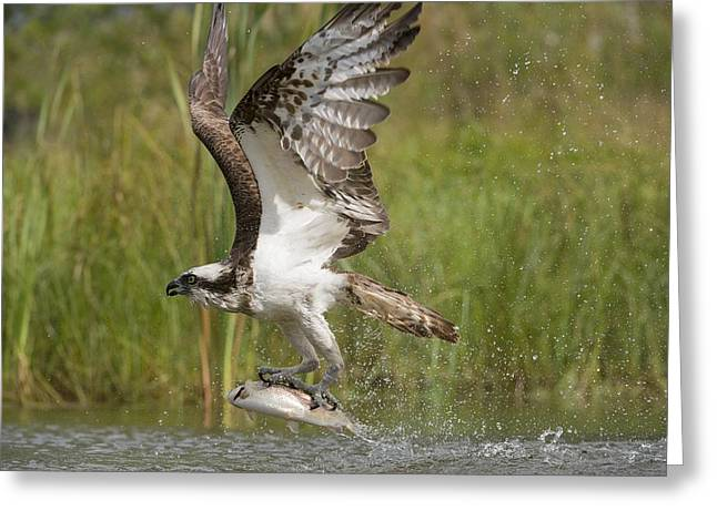 Osprey Catching A Fish Greeting Card by Science Photo Library