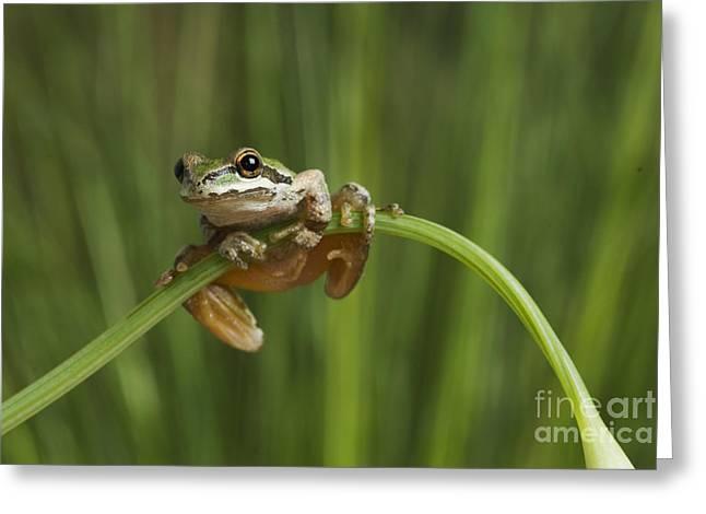 Hyla Regilla Greeting Cards - Pacific treefrog on California poppy Greeting Card by Dan Suzio