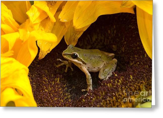 Hyla Regilla Greeting Cards - Pacific Treefrog On Sunflower Greeting Card by Dan Suzio