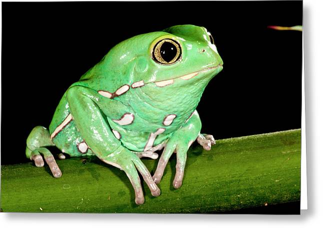 Painted Monkey Frog Phyllomedusa Greeting Card by David Northcott