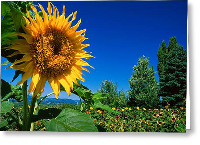 Hood River Greeting Cards - Panache Starburst Sunflowers Greeting Card by Panoramic Images