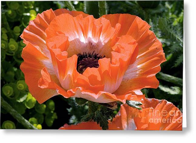 Papaver Orientale Greeting Cards - Papaver Orientale Picotee Greeting Card by Adrian Thomas