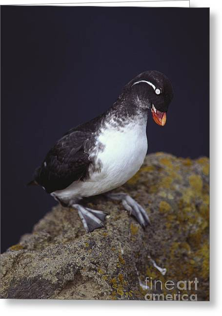 Parakeet Auklet Greeting Card by Art Wolfe